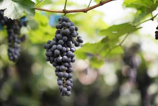 Druivenoogst boerderij