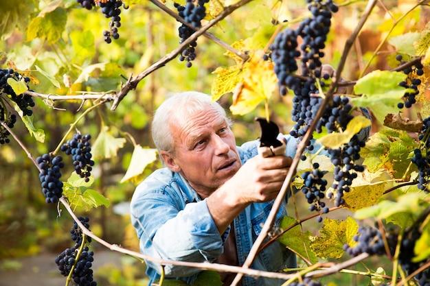 Druivenoogst in de wijngaard een man verwijdert trossen zwarte isabella-druiven van een wijnstok