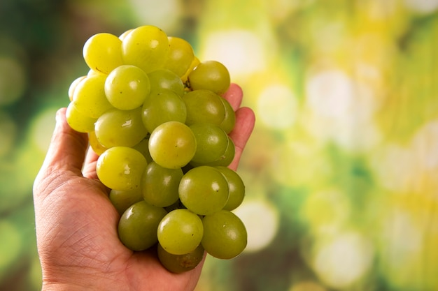 Druivenoogst in landbouwershand