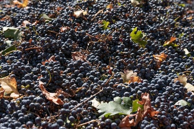 Druivensoort cabernet sauvignon