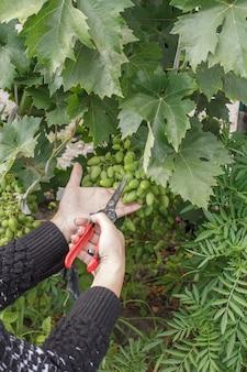 Druivenstruik lossen, verwijderen van overtollige onrijpe druiventrossen in wijngaard in de zomer. seizoensgebonden verzorging.