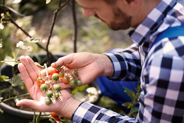 Drukke boer kijkt naar tomaten in kas