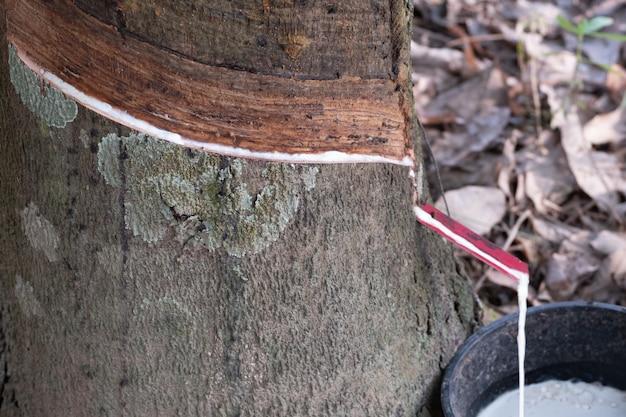 Druppel van het close-up de vloeibare latex van rubberboom in zwarte kop.