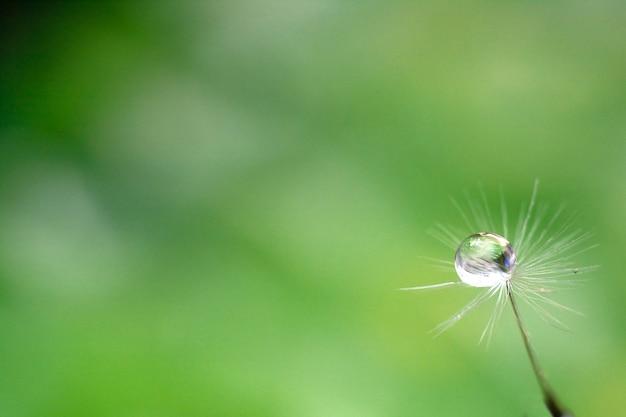 Druppel water op het zaad van een paardenbloem