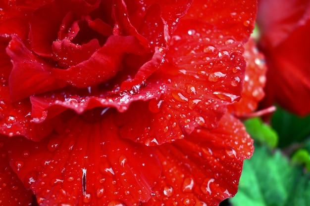 Druppels dauw op de scharlaken roos