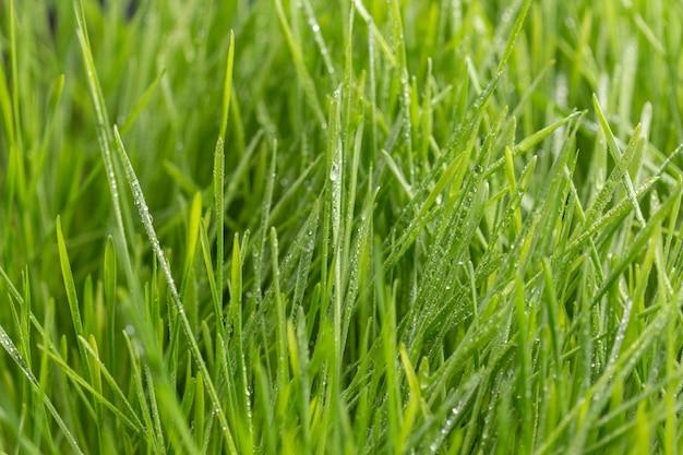 Druppels dauw op een groen gras.