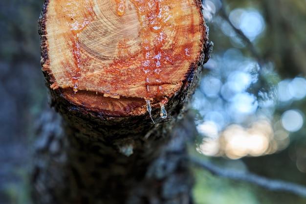 Druppels hars op een vers gesneden tak. natuurelementen concept