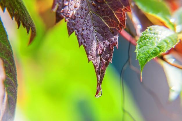 Druppels regenwater op groene druivenbladeren in de wijngaard. inspirerende natuurlijke bloemen lente of zomer landbouw tuin achtergrond.