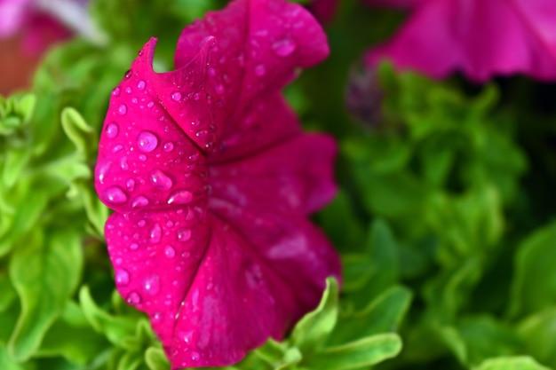Druppels water op een roze bloem