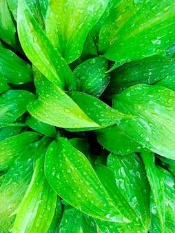 Druppels water op heldergroene bladeren, ochtenddauw op de schaduw, regendruppels. groene achtergrond, behang.