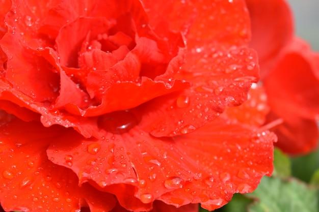 Druppels water op scharlaken rozenblaadjes
