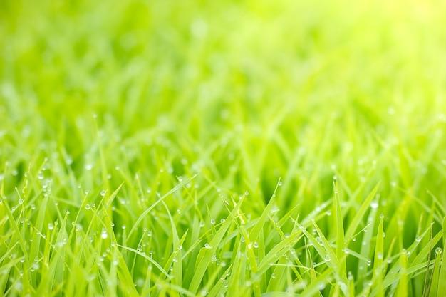 Druppels waterdauw op de bladeren van rijstzaailingen en gouden zonlicht in de ochtend.