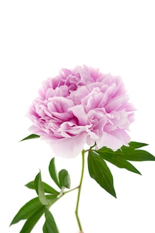 Dubbele roze pioen met groene bladeren
