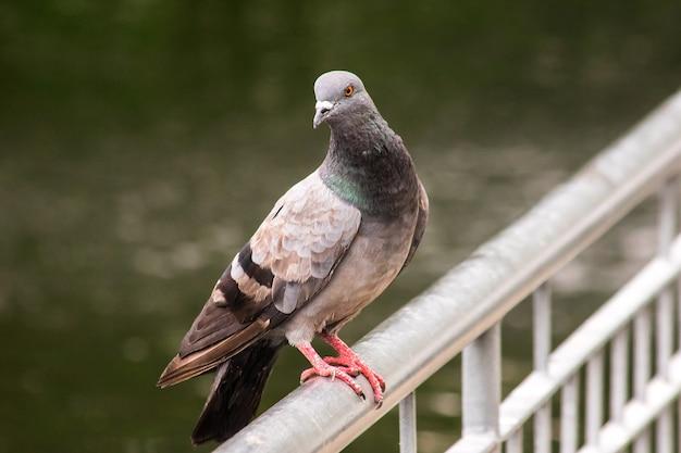 Duif die op het hek staat, duif is een vogel die duif is die op het hek staat, duif is een vogel die verwant is aan mensen van vroeger tot nu