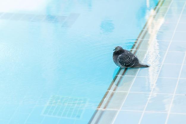 Duif gewassen en drinkwater in het zwembad in het hotel van egypte