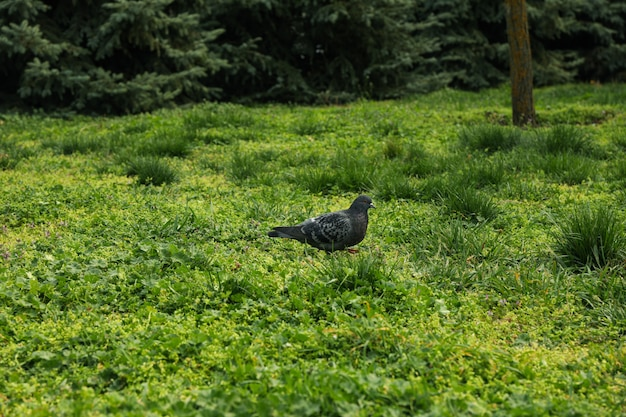 Duif lopen op groen gras in park. voorjaar