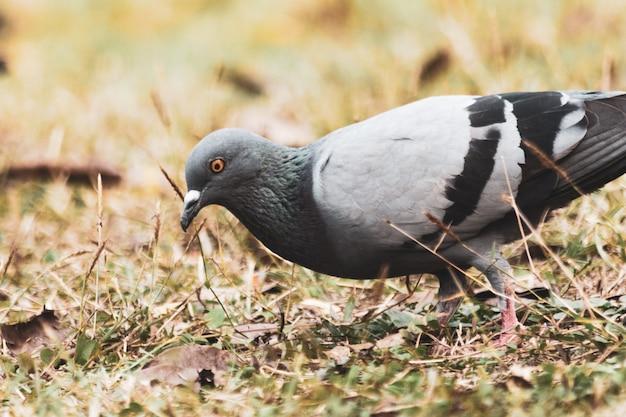 Duif op het gras in het park, rotsduif, portret van een duif