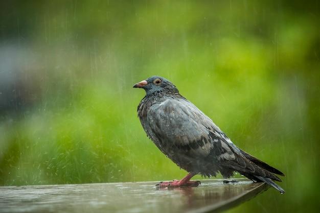 Duif staande terwijl harde regen vallen tegen een groene achtergrond