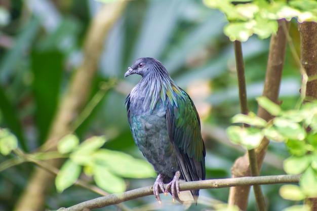 Duif van vogel de kleurrijke nicobar (nicobarica caloenas) in bos bacground