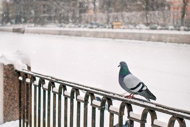 Duif zit in de winter op de borstwering van de dijk tijdens een sneeuwval tegen de achtergrond van de oude stad.