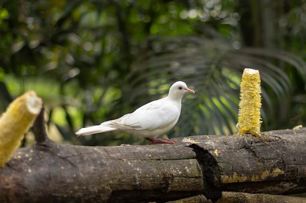 Duifduif eet maïs in het park