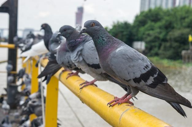Duifvogel op openluchtachtergrond, duiven bij de haven.