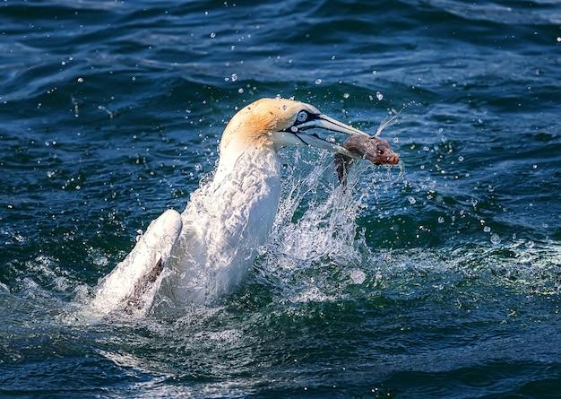 Duiken van jan-van-gent en vissen in de noordzee. engeland, vk