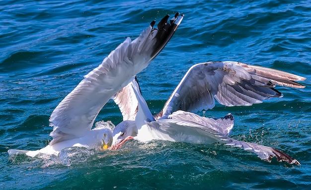 Duikende en vechtende zeemeeuw en drieteenmeeuw in de noordzee. engeland, vk