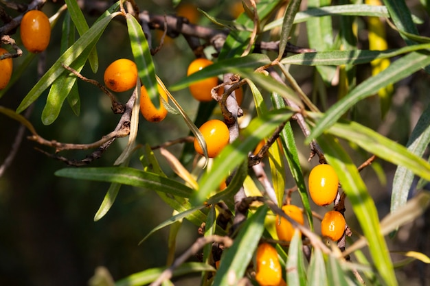 Duindoorn groeit op een boom close-up hippophae rhamnoides