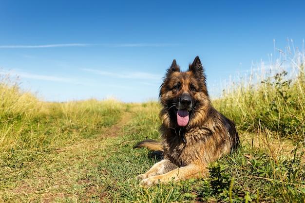 Duitse herder. de hond ligt op groen gras. blauwe lucht.