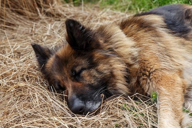 Duitse herder. de hond slaapt in het hooi.