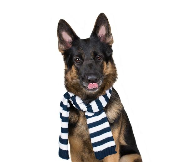 Duitse herder die een sjaal draagt