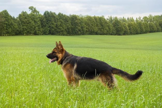 Duitse herder die en in openlucht op een gebied rust loopt.