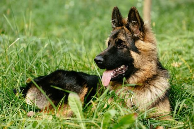 Duitse herder die op gras ligt