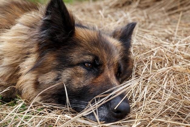 Duitse herder. een trieste zieke hond ligt in het hooi. close-up van het hoofd van een hond.