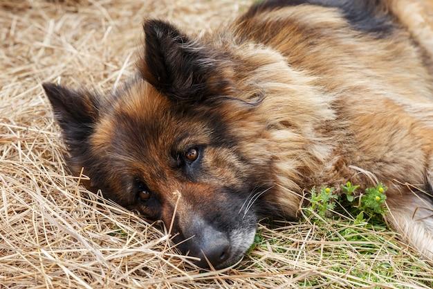 Duitse herder. een trieste zieke hond ligt in het hooi en kijkt naar de camera.
