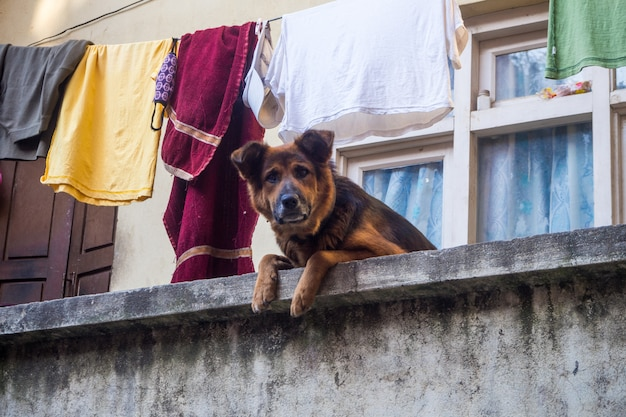 Duitse herder op het balkon camera kijken