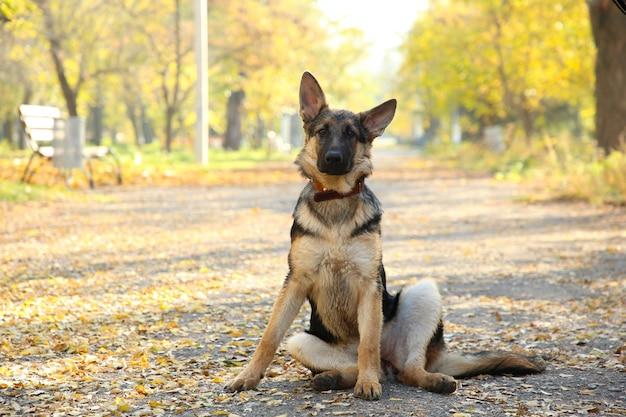 Duitse herder op het spoor in het de herfstpark.