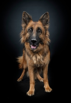 Duitse herder portret geïsoleerd op zwart Premium Foto