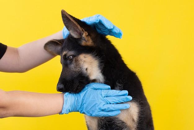 Duitse herder puppy zittend geïsoleerd op een gele achtergrond met blauwe rubberen handschoenen