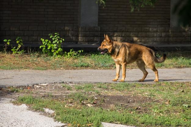Duitse herder wandelen in een stadspark