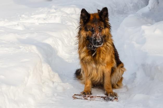 Duitse herder zit in de sneeuw met een stok