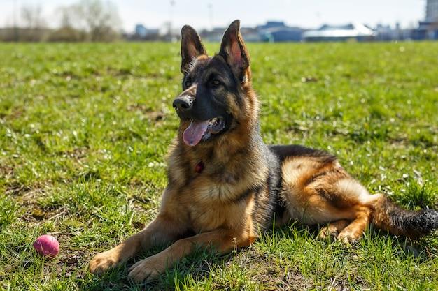 Duitse herder zittend op het gras. vlakbij is een speelgoedbal.