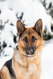 Duitse herderhond, die zich in de sneeuw bevindt