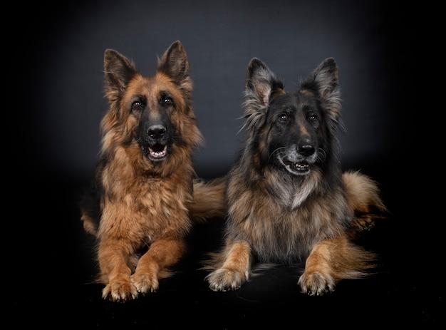 Duitse herders voor zwarte achtergrond Premium Foto