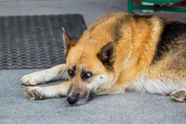 Duitse herdershond het liggen op de veranda van een huis.