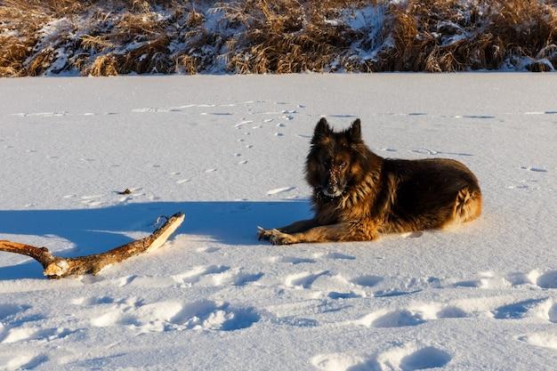 Duitse herdershond ligt in de sneeuw naast een houten stok.