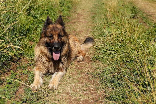Duitse herdershond ligt in groen gras. de hond stak zijn tong uit van de hitte.