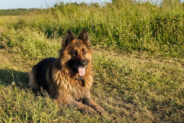 Duitse herdershond ligt op groen gras in zonlicht.