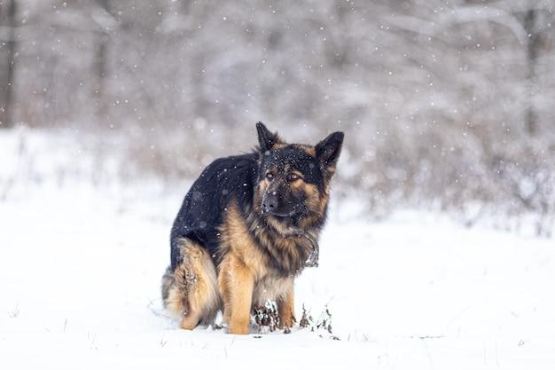 Duitse herdershond poept in de sneeuw
